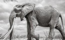 """Những hình ảnh cuối cùng về """"voi nữ hoàng"""" của Kenya với đôi ngà đẹp nhất thế giới, chạm tới đất"""