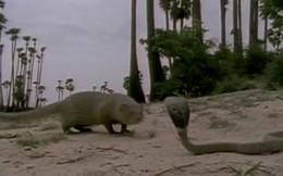 Cầy mangut đấu rắn hổ mang: Con nào sẽ trở thành miếng mồi?
