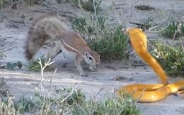 Thế giới động vật: Sóc mẹ tấn công rắn hổ mang kịch liệt để bảo vệ tổ