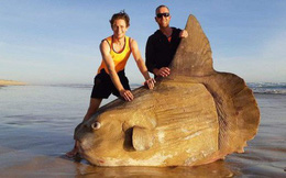 Con cá mới dạt bờ này cho thấy nước Úc quả đúng là toàn những sinh vật khổng lồ