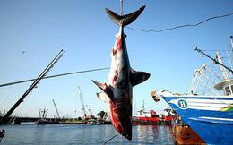 Sách Đỏ xác nhận cá mập đang nguy cấp hơn bao giờ hết, bao gồm cả loài nhanh nhất thế giới