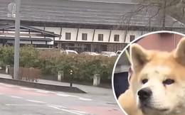 Cô chó Akita nổi tiếng trên MXH và được trao bằng khen vì cứu mạng cụ bà hơn 90 tuổi