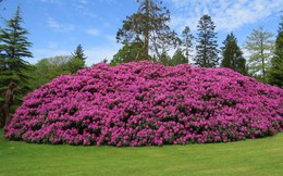 Tròn mắt ngắm nhìn cây hoa đỗ quyên hơn 120 tuổi khổng lồ nhất thế giới có thể 'nuốt chửng' cả vài trăm người cùng một lúc