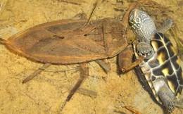 Sát thủ tàn bạo trong thế giới côn trùng giết chết cả rắn độc