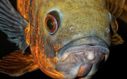 Mỹ: Tốn gần 100 triệu đồng tiền bảo lãnh vì lỡ bỏ rơi một con cá cảnh - quả nhiên trên đời chuyện gì cũng có thể xảy ra