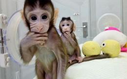 Trung Quốc gây sốc với thí nghiệm nhân cách hóa loài khỉ