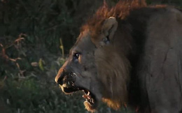 Sư tử 'chịu nhục' trước bầy linh cẩu hung hăng