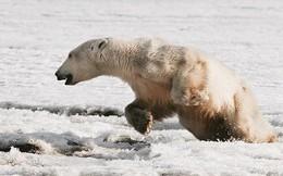 """Phát hiện con gấu Bắc Cực """"dạt nhà"""", đi hơn 700km để xin ăn"""