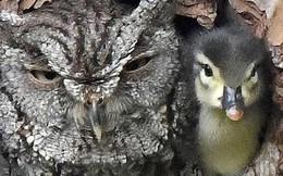 Đáng yêu vô đối: Khuôn mặt bẽ bàng của mẹ cú khi phát hiện quả trứng mình ấp bấy lâu lại nở ra một... con vịt