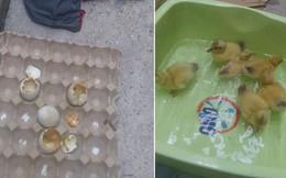 """Nối tiếp tấn """"bi kịch"""" của nắng nóng Sài Gòn: Đến trứng cũng không thể nằm yên...."""