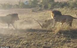Cuộc chiến khốc liệt tranh giành lãnh thổ của 3 con sư tử