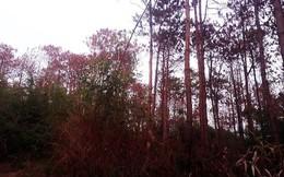 Sửng sốt hàng ngàn cây thông bị 'đầu độc' chết chỉ trong 10 ngày
