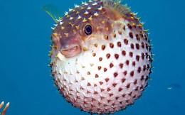 """Đoạn video tiết lộ hiểu lầm rất lớn của chúng ta về cách loài cá nóc """"phồng"""" lên như quả bóng"""