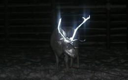 """Tuần lộc ở """"quê hương ông già Noel"""" có sừng phát sáng rực rỡ trong đêm và đây là lý do tại sao"""