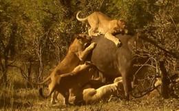 Sư tử đói xúm lại quật ngã trâu rừng