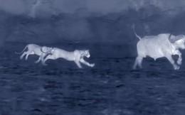Thế giới động vật: Trâu rừng kêu lớn cầu cứu đồng loại trong đêm
