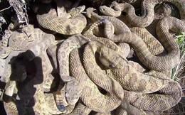 Clip: Thâm nhập ổ rắn chuông cực độc, nhung nhúc hàng trăm con