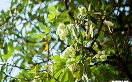 Hoa sữa nở giữa mùa hè: Chuyên gia lý giải do cây 'lầm tưởng' mùa thu đến