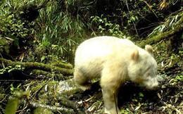 Xuất hiện bằng chứng đầu tiên cho thấy sự tồn tại của gấu trúc trắng