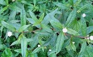 """Bài thuốc hay từ cây cỏ """"nhà quê"""" chữa bệnh thận cực hiệu nghiệm"""