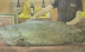 Loài cá đắt bậc nhất Việt Nam: Vì sao bán 1,5 tỉ vẫn hớ?