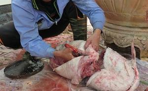 Chuyện chỉ có ở Việt Nam: Săn cá Sách Đỏ phục vụ đại gia