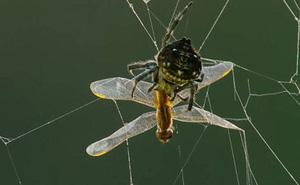 Phóng tơ 1 lần dài đến 25m, siêu nhện là có thật?