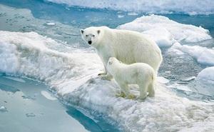 Băng Bắc Cực tan chảy không ngừng, 1.200 con gấu có nguy cơ biến mất vĩnh viễn