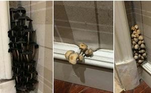 Mới mua nhà hơn 1 năm, chủ hộ sửng sốt phát hiện ra nấm dại mọc thành chùm khắp các khe tường