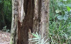 Thêm một cây Xích Tùng cổ chết, dự án cứu rừng Xích Tùng Yên Tử vẫn chưa được phê duyệt