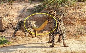"""Cùng ngậm xác anaconda dài 4,8m qua sông, khi lên bờ báo con có hành động """"trở mặt"""""""