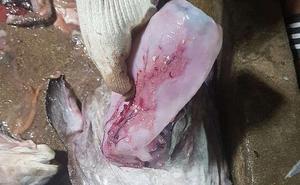 Phát hiện hơn 1000 dị vật bên trong bụng con cá thầy tu ở Hàn Quốc