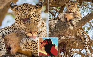 Báo đốm chột mắt vẫn săn mồi đỉnh cao, ngoại hình như kẻ phản diện trong phim Vua sư tử
