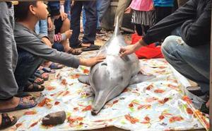 Cá heo chết dạt vào bờ, nhiều người đến xem rồi sờ vào xác cá lấy may