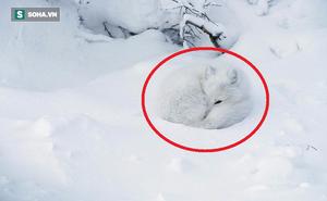 """Bạn có biết """"cục bông trắng muốt"""" này là con gì không? Nó có thể sống tốt dù trời -70 độ C"""