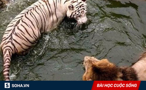 Đánh nhau kiệt sức, sư tử và hổ mới nhận ra lý do thực sự khiến chúng đổ máu
