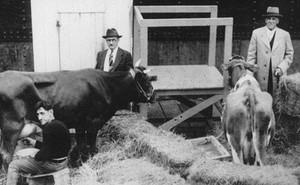 Ngày xửa ngày xưa, vào năm 1933, có ba chú bò được đưa đi Bắc Cực và để lại những câu chuyện vô cùng thú vị