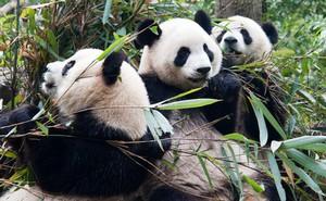 3 loài linh vật này của Trung Quốc sẽ thầm lặng biến mất vĩnh viễn nếu không có gì thay đổi