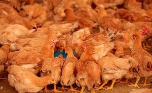 """Chiến dịch sử dụng """"đội quân gà"""" diệt châu chấu ở Trung Quốc"""
