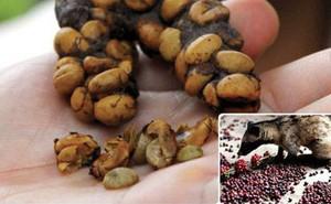 Quy trình sản xuất cafe chồn truyền thống sẽ giúp bạn hiểu vì sao nó lại đắt nhất thế giới