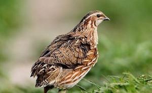 Món ăn, bài thuốc chữa bệnh từ chim cút