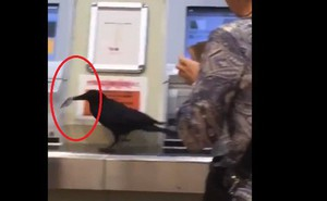 Không có tiền, con quạ ăn cắp thẻ tín dụng của hành khách để mua vé tàu