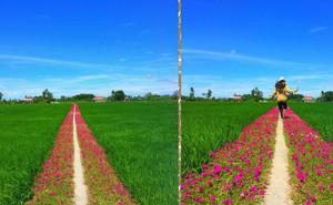 Con đường hoa mười giờ giữa 2 thửa ruộng đẹp như tranh khiến dân mạng ở Tiền Giang muốn đến check-in bằng được