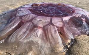 New Zealand: Tranh cãi 'vật thể lạ' là sứa khổng lồ hay sinh vật ngoài hành tinh
