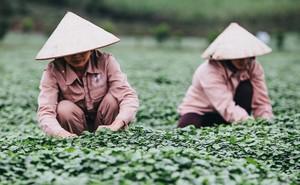 """Giải mã loại cây dại được """"đổi đời"""" thành rau organic trong trang trại đẳng cấp quốc tế"""
