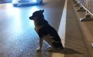 Chó trung thành ngồi ven đường đợi chủ đã chết vì tai nạn giao thông suốt 80 ngày