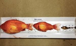 """Cá vàng """"khổng lồ"""" xưng vương ở sông ngòi Washington"""