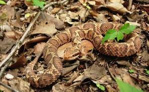 Bí mật ẩn sau loài rắn được xem là thần dược cho đàn ông Nhật Bản