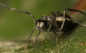 Điều kỳ lạ ở nhện 8 chân nuôi con bằng sữa mẹ