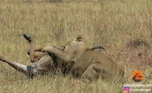 Video: Linh dương đầu bò chết thảm dưới nanh vuốt sư tử